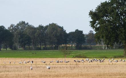 Nahrungssuche auf einem Feld, nur wenige Kilometer vom Schlafplatz im Moor entfernt