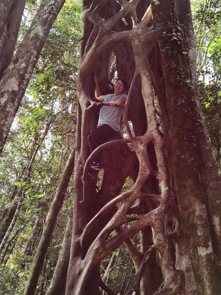 Hoch hinaus in Monteverde: Im Fiscus Baum klettern (Foto: Evi Burkhardt)