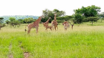 akagera-national-park-safari.jpg