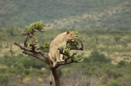 akagera-national-park-lion.jpg