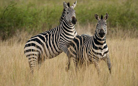 zebras-lake-mburo-national-park.jpg