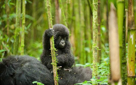 5-days-camping-gorilla-trekking-tour-and-chimpanzee-trekking-safari-to-Uganda.jpg