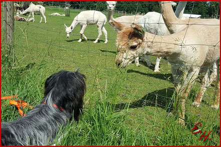 Der Schapendoes als Familienhund