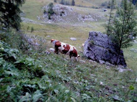 Eine Kuh im Allgäuer Hochland, Foto: A. Baumgarten