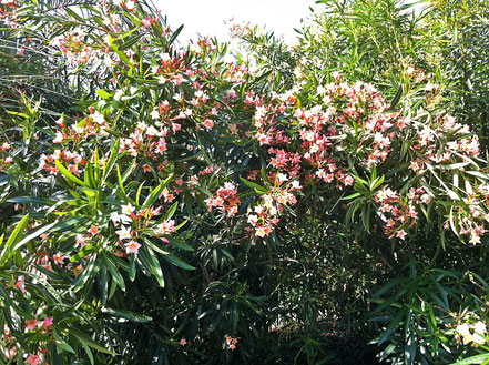 The OLEANDER GARDEN PARK of the Oleander Society in Galveston.