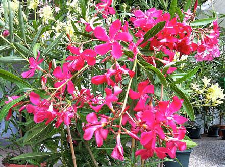 OLEANDER HAUS, Oleander Garten, Re D® JR 95-3