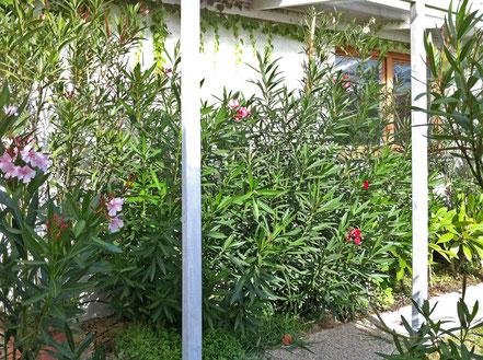 OLEANDER HAUS, Nerium oleander, overwintering oleanders outdoors