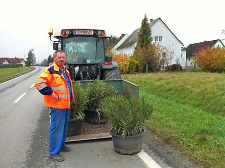 Die Oleanderbüsche werden von der Straße in Rax eingesammelt