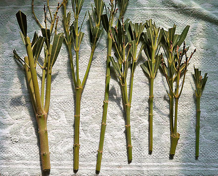 Cuttings with emerging inflorescences