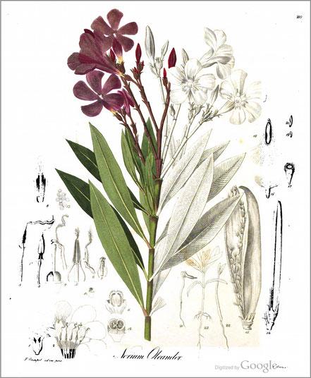 Oleander, Deutschlands phanerogamische Giftgewächse in Abbildungen und Beschreibungen    1838