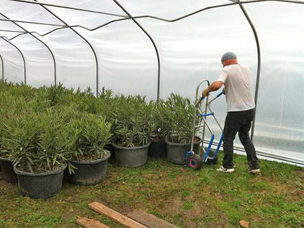 Die Oleanderbüsche von der Straße in Rax werden bei OLEANDER HAUS in einem neuen Folientunnel untergebracht.