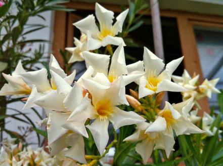 OLEANDER HAUS, Oleander Garten, Iles of Capri