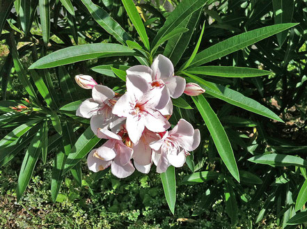 Oleander 'Harriet Newding', Robert Newding, Galveston