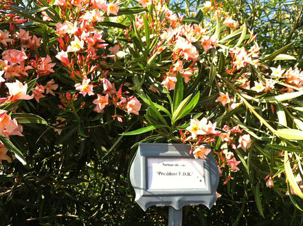 The Oleander Garden Park and the cultivar 'President Franklin Delano Roosevelt'.