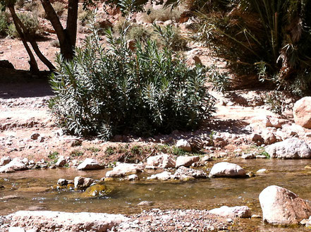 Oleander im Flussbett des Todratales