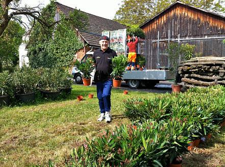 Zwischenlagerung der Oleander bei OLEANDER HAUS