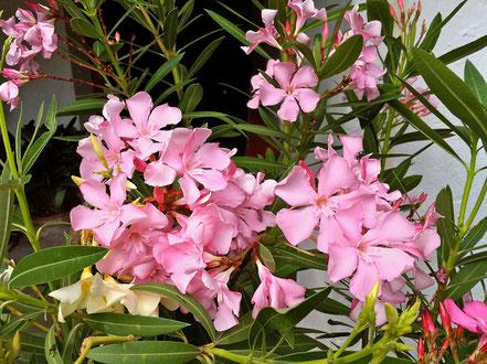 OLEANDER HAUS, Oleander Garten, Taurus