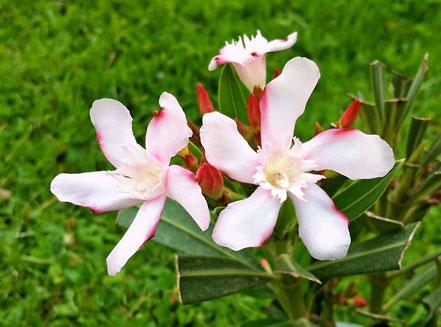 Zwei Blüten am 9.5.2014