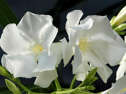 Oleander Haus  Nerium Oleander Mont Blanc 1
