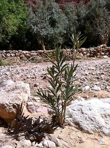 Oleander im Todra Tal