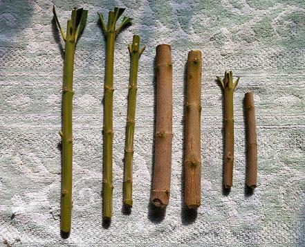 Grüne und verholzte Stecklinge.