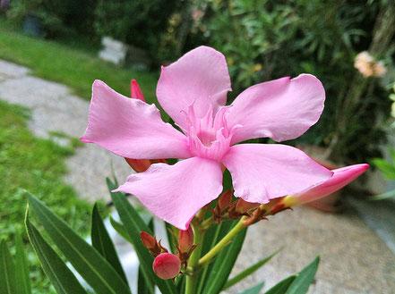 "OLEANDER HAUS,  Nerium Oleander,   ""Todra"""