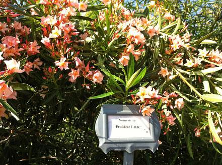 OLEANDER GARDEN PARK der Oleander Society in Galveston.