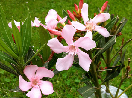 Mehrere Blüten am 11.5.2014