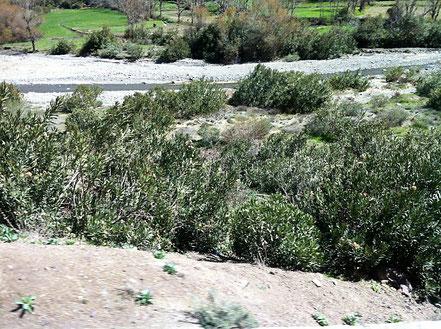 Wild wachsender Oleander in den Flusstälern, Marokko