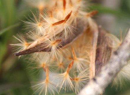 OLEANDER HAUS, Oleander Samen