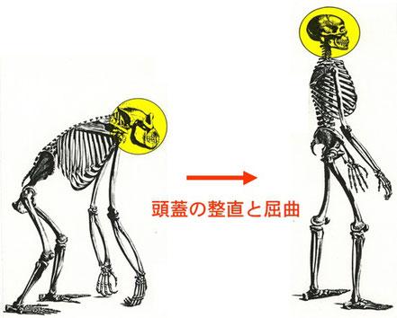 人の進化、四つん這いから二本足で立ち上がるようになったイラスト図