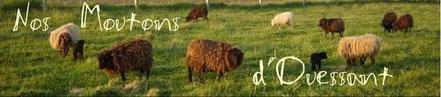 forum sur le mouton d'Ouessant