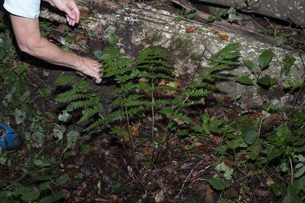 Der schöne Entferntfiedriger Wurmfarn  • Dryopteris remota musste zuerst von Brennnesseln und diversen  anderen Pflanzen befreit werden.