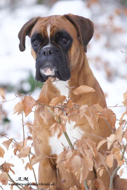 gelber Boxer Hund vonderwaldnielerheide