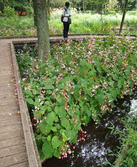 9月28日(2014) 秋海棠(シュウカイドウ)の咲く道(野川公園・自然観察園)