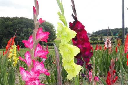Obristhof Gladiole