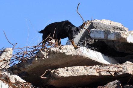 """Bolle als geprüfter Rettungshund """"Trümmer"""" (Gem. PPO) beim Verweisen der eingebrachten Versteckperson"""