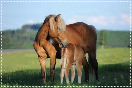 gut ernährte Stute mit trinkendem Fohlen auf Pferdeweide