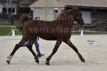 VAREK D'AIGREFEUILLE (cheval Arabe)