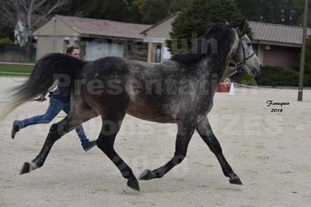 BADJAR DE PIBOUL (cheval Arabe)