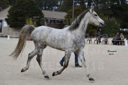 AZEN DE MONDESIR (cheval Arabe)