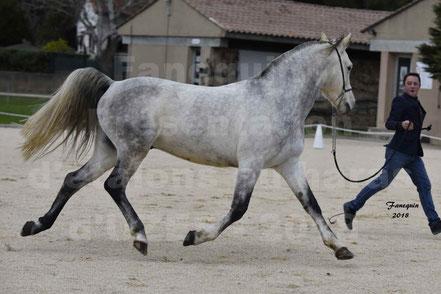 DIOSAI D'ALAJOU (cheval Arabes)