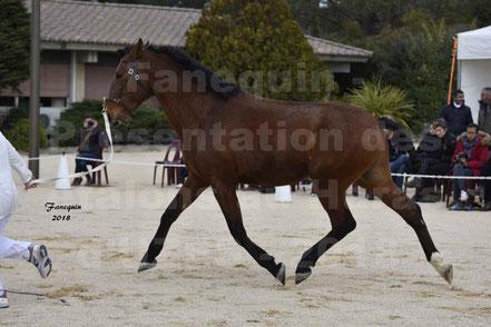 DUENDE MENEZES (cheval LUSITANIEN)