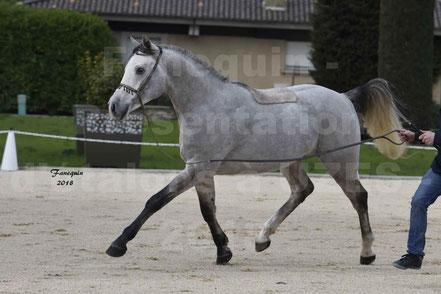 EXCALIBUR LARZAC (cheval Arabe)
