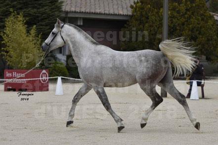 NAFSTALIK DE L'ARLYNE (cheval Arabe)