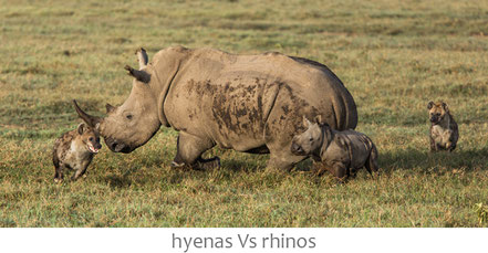 hyenas Vs rhinos, hyenas attacking rhino and calf, hyène qui attaquent une mère rhinocéros et son petit