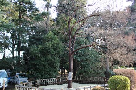 日米友好のハナミズキの樹勢回復を行いました。