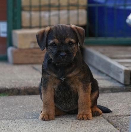 Border Terrier Welpe Malu