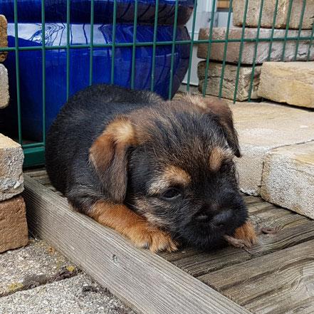 Border Terrier Welpe Xaro