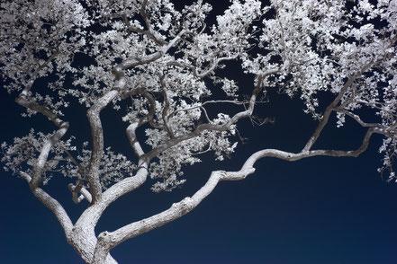Bonsai, Infrarot, Holger Nimtz, Infrared, Fotografie, tree, Baum, Ostfriesland, Photography, Infrarotaufnahme, IR,